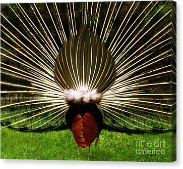 Canvas Print featuring the photograph Rear End Of Peacock In Full Aray by Merton Allen