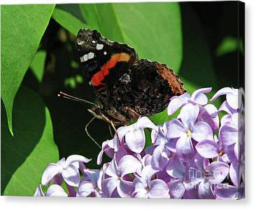 Canvas Print featuring the photograph Red Admiral Butterfly by Deborah Johnson