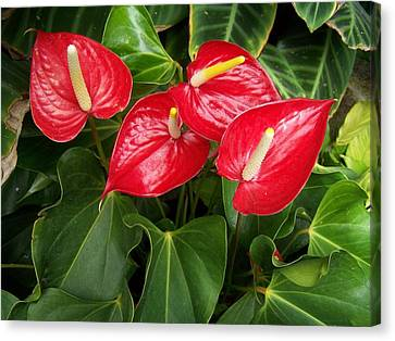 Red And Green Canvas Print by Constance Drescher