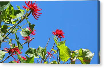 Red And Green San Diego Flowers Canvas Print by Doreen Whitelock