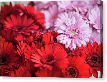 Red And Pink Gerberas Display Canvas Print