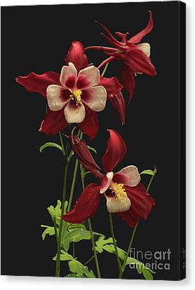 Red And White Canvas Print by Robert Pilkington