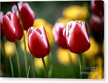 Red And White Tulips Large Canvas Art, Canvas Print, Large Art, Large Wall Decor, Home Decor Canvas Print by David Millenheft