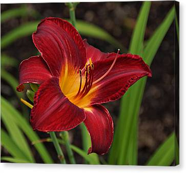 Red And Yellow Daylily Canvas Print