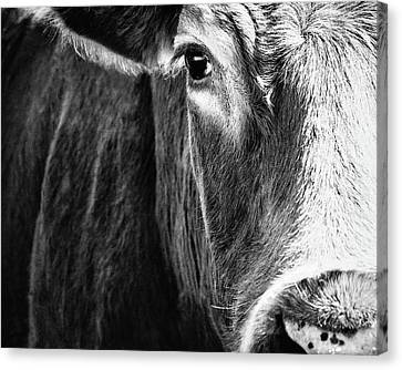Red Angus In Black And White  Canvas Print by Debi Bishop