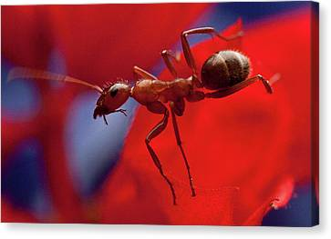 Canvas Print featuring the photograph Red Ant Macro by Jeff Folger