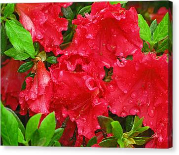 Red Azaleas Canvas Print by Richard Singleton
