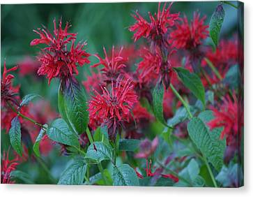 Red Bee Balm Canvas Print by Ron Read