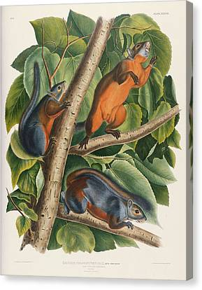 Squirrel Canvas Print - Red Bellied Squirrel  by John James Audubon