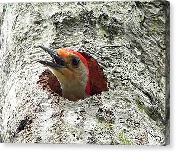 Red-bellied Woodpecker 02 Canvas Print by Al Powell Photography USA