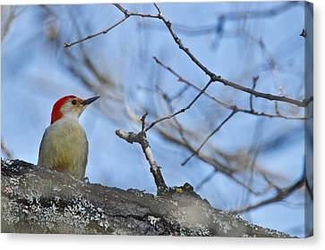 Canvas Print featuring the photograph Red-bellied Woodpecker 1137 by Michael Peychich