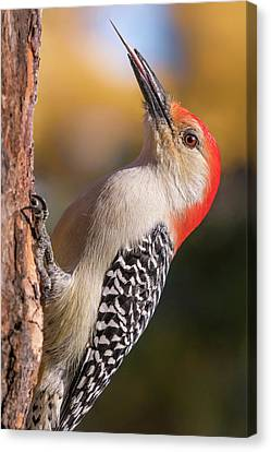 Canvas Print featuring the photograph Red Bellied Woodpecker's Toolkit by Jim Hughes