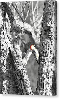 Canvas Print featuring the photograph Red-bellied Woodpecker by Benanne Stiens