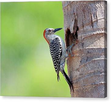 Red-bellied Woodpecker Canvas Print by Guillermo Armenteros, Dominican Republic.
