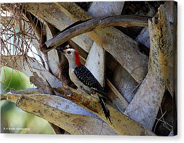 Red-bellied Woodpecker Hides On A Cabbage Palm Canvas Print by Barbara Bowen
