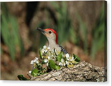 Red-bellied Woodpecker In Spring Canvas Print by Sheila Brown
