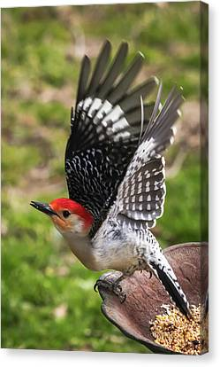 Canvas Print featuring the photograph Red Bellied Woodpecker Take Off by Terry DeLuco