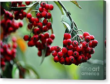 Clayton Canvas Print - Red Berries by Clayton Bruster