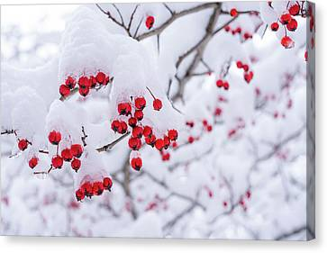 Red Berries Covered With Snow Canvas Print by Marlon Mullon