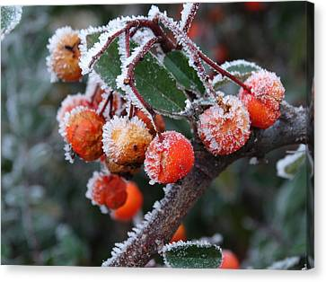 Red Berries With Frost  Canvas Print by Explorer Lenses Photography