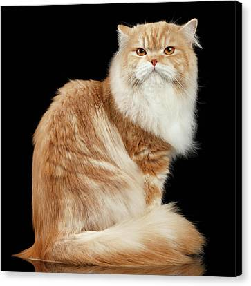Red Big Adult Persian Cat Angry Sits And Turned Back On Black  Canvas Print by Sergey Taran