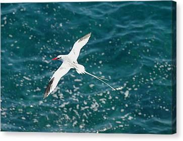 Red Billied Tropic Bird Canvas Print by Alan Lenk