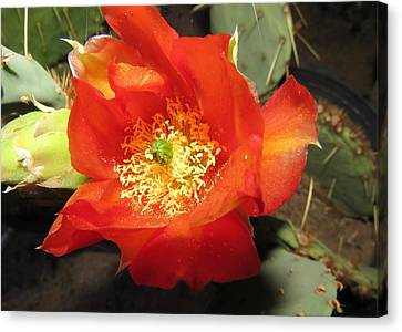Red Bloom 1 - Prickly Pear Cactus Canvas Print
