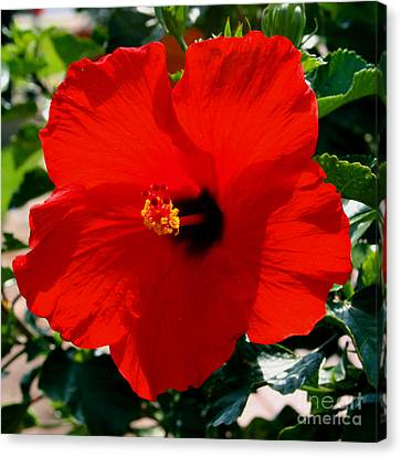 Red Bloomers Canvas Print by Paul Anderson