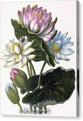 Red, Blue, And White Lotus Flowers Canvas Print by William Hooker