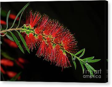 Canvas Print featuring the photograph Red Bottlebrush By Kaye Menner by Kaye Menner