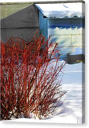 Red Branches And Snow Canvas Print by Barbara  White
