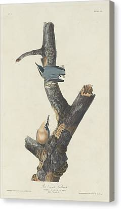 Red-breasted Nuthatch Canvas Print by Anton Oreshkin