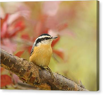 Red Breasted Nuthatch  Canvas Print by Lara Ellis
