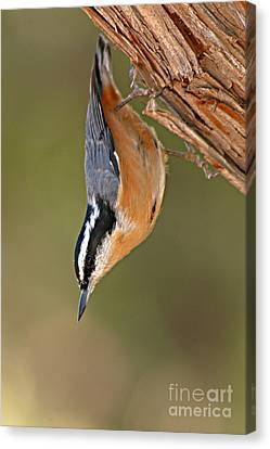 Red-breasted Nuthatch Upside Down Canvas Print by Max Allen