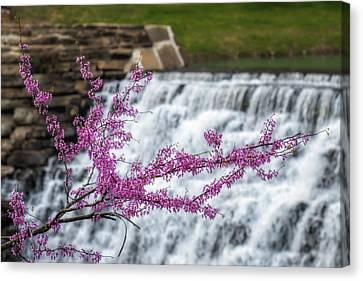 Redbud At Devils Den Canvas Print by James Barber