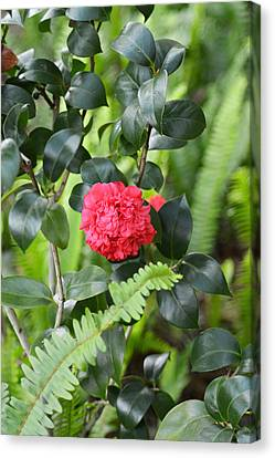 Red Camellia Canvas Print by Aimee L Maher Photography and Art Visit ALMGallerydotcom