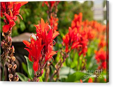 Red Canna Lily Flowering Canvas Print by Arletta Cwalina