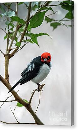 Red Capped Cardinal Canvas Print
