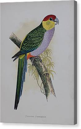 Red-capped Parakeet - 1884 Canvas Print