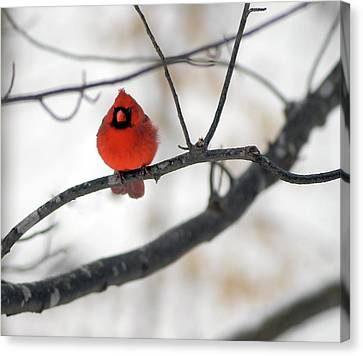 Canvas Print featuring the photograph Red Cardinal In Snow by Marie Hicks