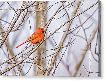 Red Cardinal Perched On Tree Branches In The Sun Canvas Print by Alex Grichenko