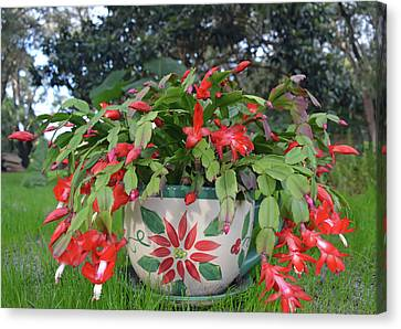 Red Christmas Cactus Canvas Print by Aimee L Maher Photography and Art Visit ALMGallerydotcom