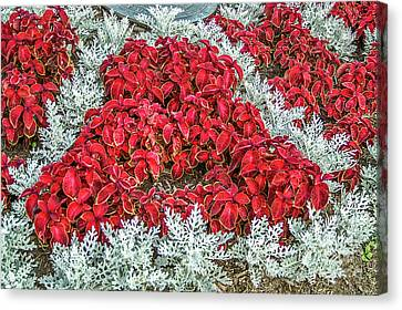 Canvas Print featuring the photograph Red Coleus And Dusty Miller Plants by Sue Smith