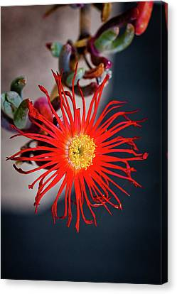 Red Crab Flower Canvas Print by Bruno Spagnolo