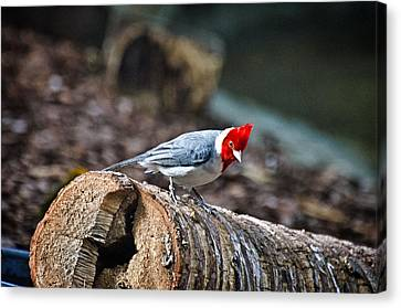 Red Creasted Cardinal Canvas Print by Cheryl Cencich