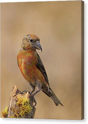 Red Crossbill Canvas Print by Doug Herr