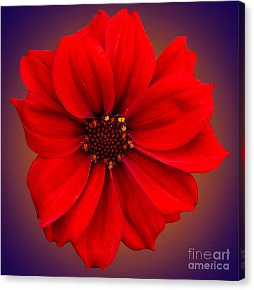 Canvas Print featuring the photograph Red Dahlia-bishop-of-llandaff by Brian Roscorla