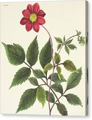Red Leaf Canvas Print - Red Dahlia by Margaret Roscoe