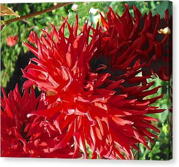 Red Dahlia Pizazz  Canvas Print