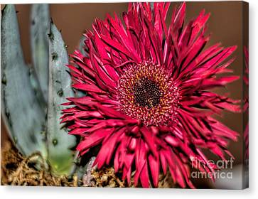 Canvas Print featuring the photograph Red Daisy And The Cactus by Diana Mary Sharpton